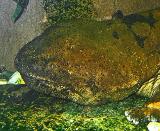 SALAMANDRA-GIGANTE-DA-CHINA (Andrias davidianus) - É o maior anfíbio do mundo. Pode atingir 1,8 metros e 25 quilos.