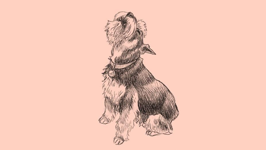 """Alertas e espertos, os schnauzers foram usados como carregadores de mantimentos da Cruz Vermelha durante a 1a Guerra Mundial. São originários da Bavária e seu nome alemão significa """"focinho"""" - na verdade são conhecidos como os cães de bigode. Foram criados originalmente como caçadores de ratos no século 14. São hoje cães de companhia apreciados, especialmente os pequeninos, que não ultrapassam os 36 cm de altura."""