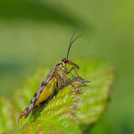 <i>Panorpa communis</i> - Esse inseto nativo da Europa é conhecido por lembrar um escorpião com asas. No entanto, o mais bizarro nele não é a aparência, e sim o ritual de acasalamento: a fêmea escolhe seu parceiro a partir do melhor presente que os macho levam para ela, que pode ser um inseto menor ou um pouco de saliva.