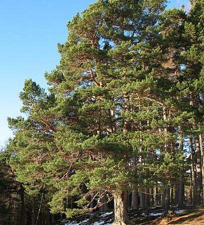 O Pinheiro da Escócia, também conhecido como Pinheiro Silvestre, é muito utilizado na fabricação de móveis. Eles têm cerca de 40 metros de altura.