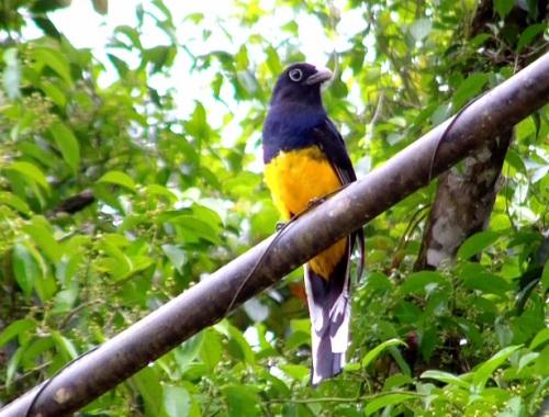 Surucuá-grande de-barriga-amarela. Esse é o nome da ave da foto, que vive em florestas e tem até 30 centímetros.