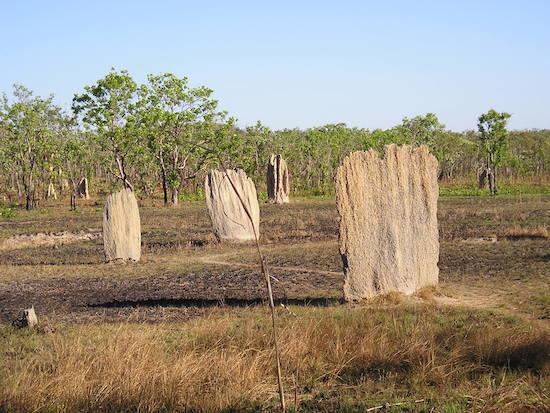 Com até dois metros de altura, essas tocas podem abrigar dezenas de milhares de cupins-bússola, inseto nativo da Austrália.