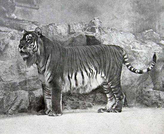 Tigre-do-cáspio (Panthera tigris virgata) - extinto nos anos 1960.