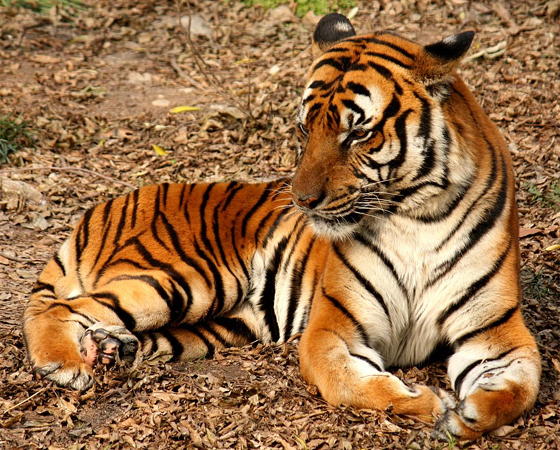 Não é só o pelo dos tigres que é listrado. A pele dos bichos obedece ao mesmo padrão. Esse padrão funciona como uma impressão digital dos tigres, já que as listras de um nunca são iguais às dos outros.