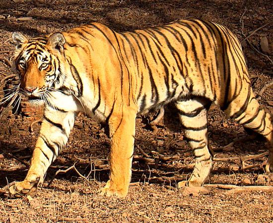 5º LUGAR - TIGRE. O pênis de 28 cm só corresponde a 8,5% do tamanho de seu corpo.