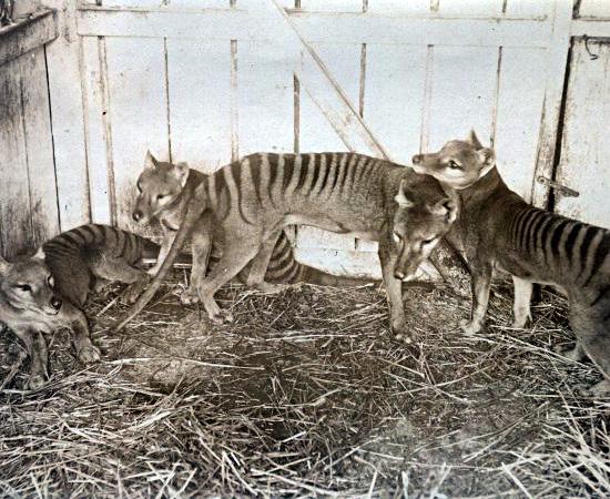 Tilacino (Thylacinus cynocephalus) - extinto em 1936.