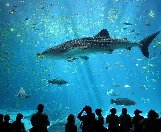 TUBARÃO-BALEIA (Rhincodon typus) - É o maior peixe do mundo. Chega a 12 metros de comprimento e a 13 toneladas.