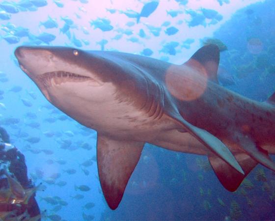 Os tubarões são imunes ao câncer, e córneas de tubarões têm sido usadas em transplantes para humanos.