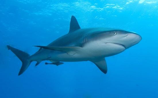 Um olfato fenomenal permite que os tubarões farejem uma presa que esteja nadando a mais de um quilômetro de distância.