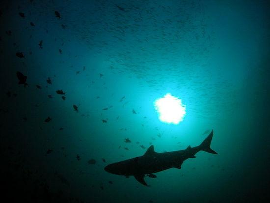 Tubarões são os animais mais temidos do oceano. O medo é, em parte, justificável. Afinal, aquelas mandíbulas enormes e afiadas causam mesmo um frio na espinha. Cerca de 100 ataques de tubarões a humanos ocorrem todos os anos. Um terço deles é do tubarão branco.
