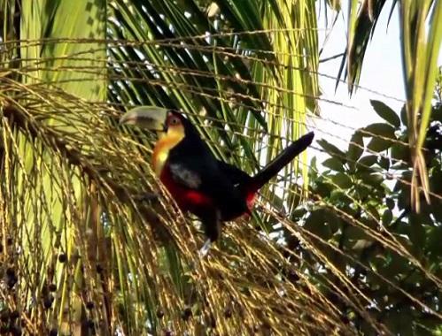 O tucano-de-bico-verde tem entre 40 e 50 centímetros. A ave, nativa do Brasil, Argentina e Paraguai, vive em florestas.
