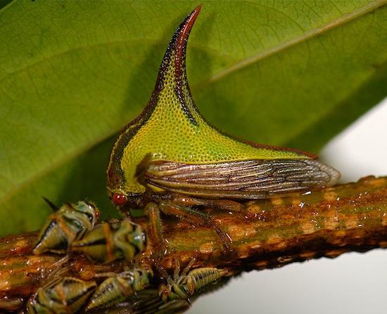 <i>Umbonia crassicornis</i> - Esse artrópode tem um chifre enorme que lhe confere uma aparência um tanto quanto estranha. No entanto, o ornamento tem uma utilidade: o inseto fica parecido com um espinho e passa desapercebido por predadores.