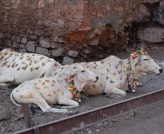 Vacas são enfeitadas com guirlandas durante o festival.