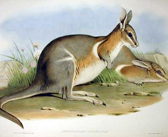 Wallaby-rabo-de-prego-crescente (Onychogalea lunata) - extinto em 1956.