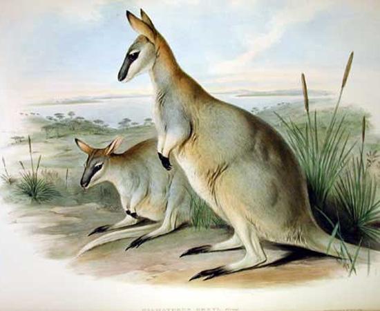 Wallaby-toolache (Macropus greyi) - extinto em 1943.