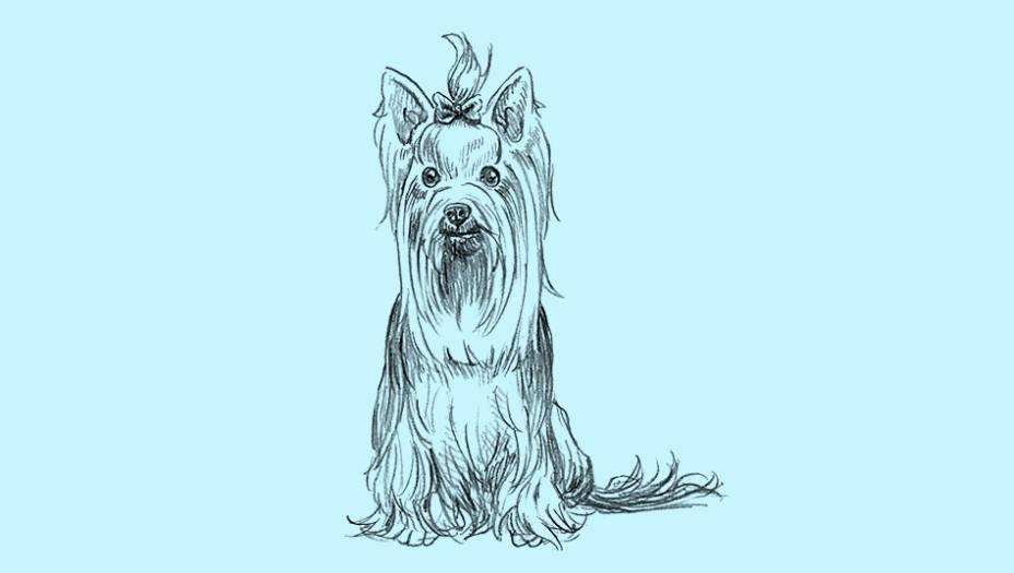 Eles saltitam, latem muito, são inquietos e teimosos. É difícil entender como tanta personalidade cabe em um cachorro tão pequeno. Mesmo assim, o yorkshire é o cão de colo mais popular do mundo. Antigamente usados em eventos públicos de caça a ratos na Inglaterra (atividade na qual se destacavam muito), hoje, os yorkies se confundem com os acessórios de moda dos seus donos.