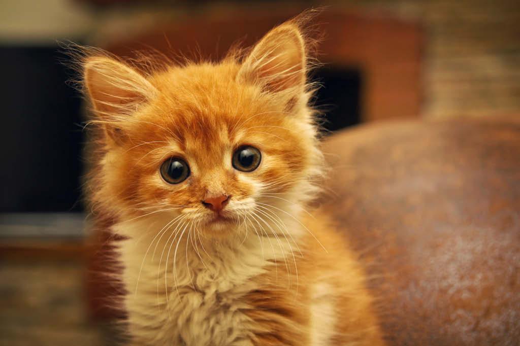 gatinhos-filhotes-reconhecem-a-voz-da-propria-mae
