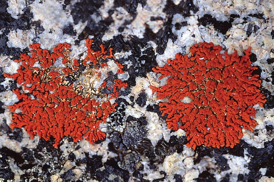 Os primeiros líquens apareceram há, no mínimo, 4 milhões de anos. Eles são compostos de fungos e algas ou cianobactérias, por isso ainda existe um impasse sobre como classificá-los.