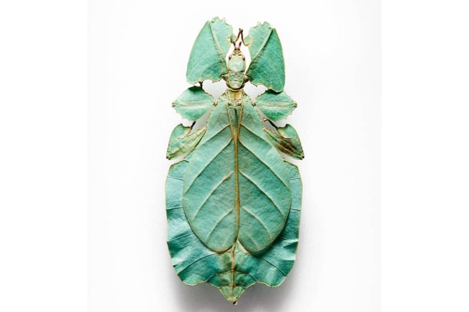 Insetos como o bicho-folha são típicos resultados da seleção natural. Eles imitam a cor e estrutura das plantas para se esconderem de predadores.