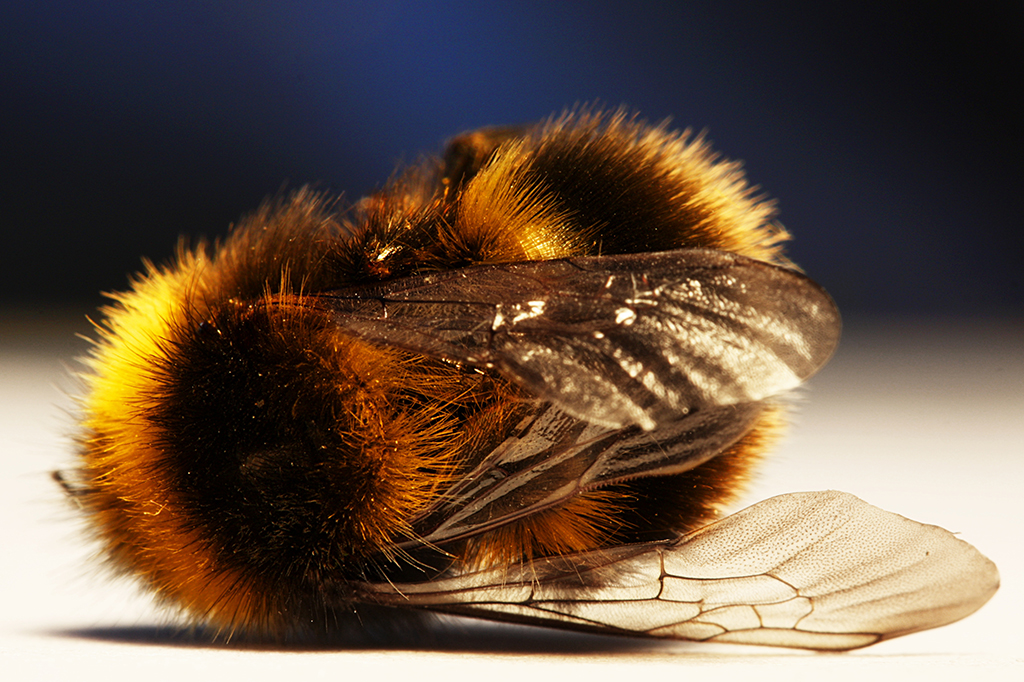 Extinção das abelhas