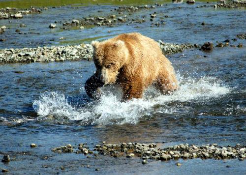 Bear_Alaska_(2)
