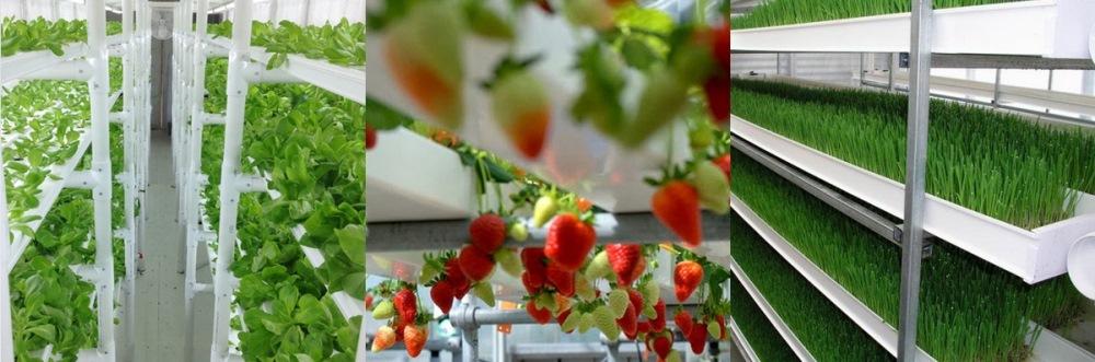 cultivo-de-alfaces-morangos-plantas-estufa