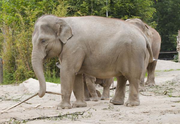 Elefante_asia_tico_(Elephas_maximus),_Tierpark_Hellabrunn,_Mu_nich,_Alemania,_2012-06-17,_DD_06