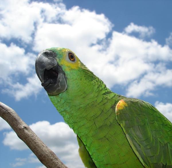 Papagaio.jhu