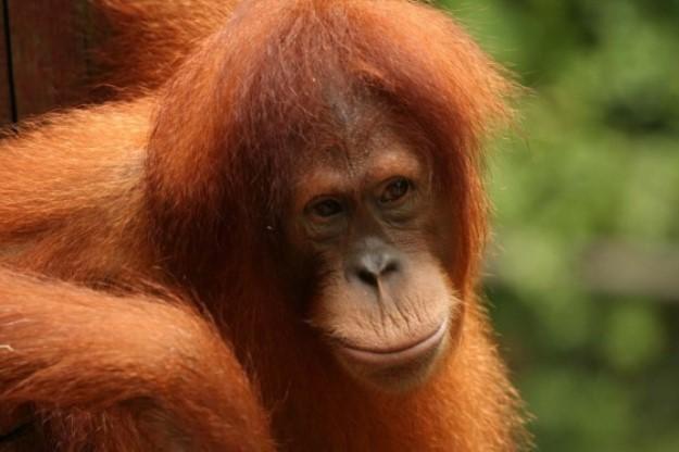 volta-para-casa-escola-floresta-ensina-orangotangos-viver-floresta-blog-super