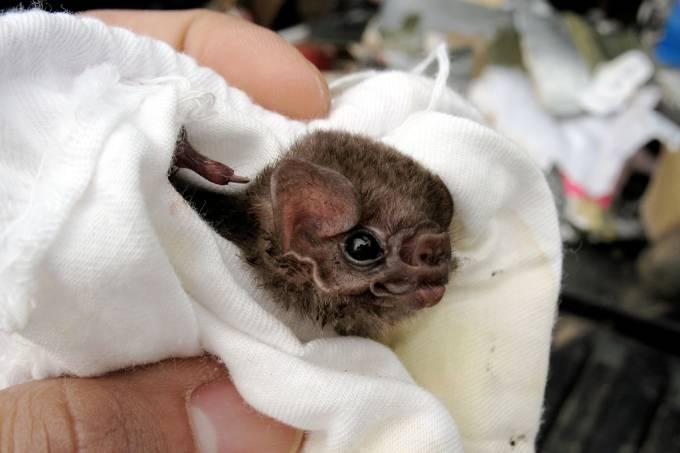 Morcegos estão se alimentando de sangue humano no Brasil
