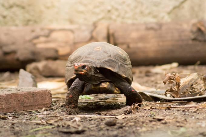 Tartarugas lembram de onde deixaram comida por até 18 meses