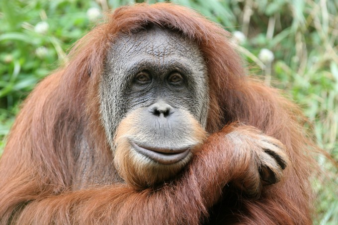 Tinder para Orangotangos