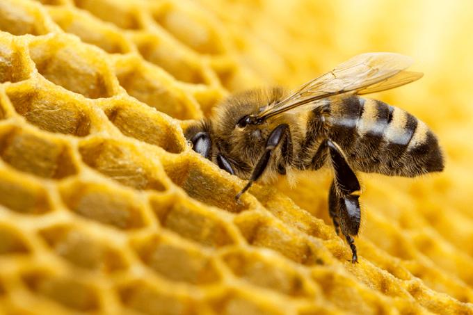 Abelhas sabem usar ferramentas – e ensinam umas às outras