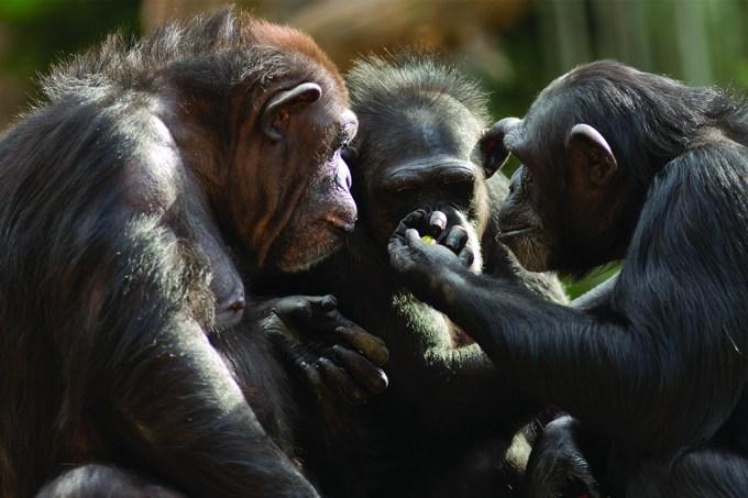 Chimpanzé faz autópsia em filhote morto; veja vídeo