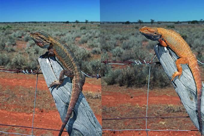 Cores que um lagarto pode assumir variam conforme seu habitat