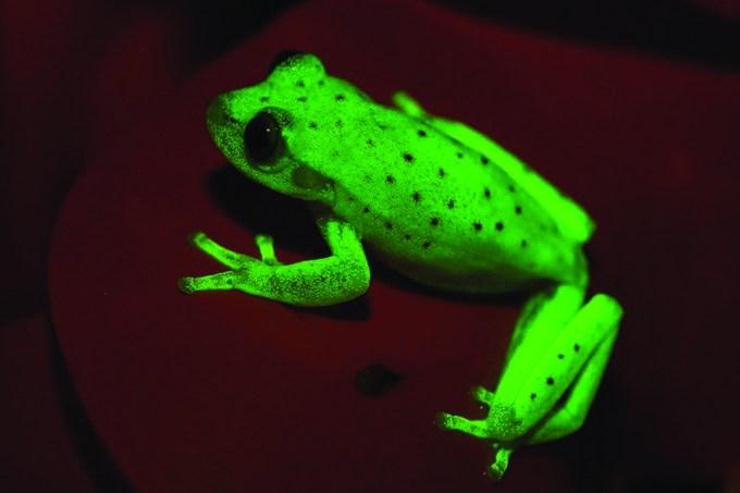 Descoberta no Brasil a primeira perereca fluorescente do mundo