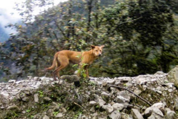 """Espécie canina mais antiga do mundo é """"redescoberta"""""""