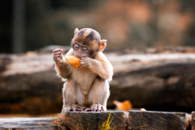 Macaco comendo fruta