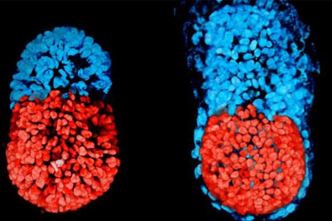 Primeiro embrião artificial é criado na Inglaterra