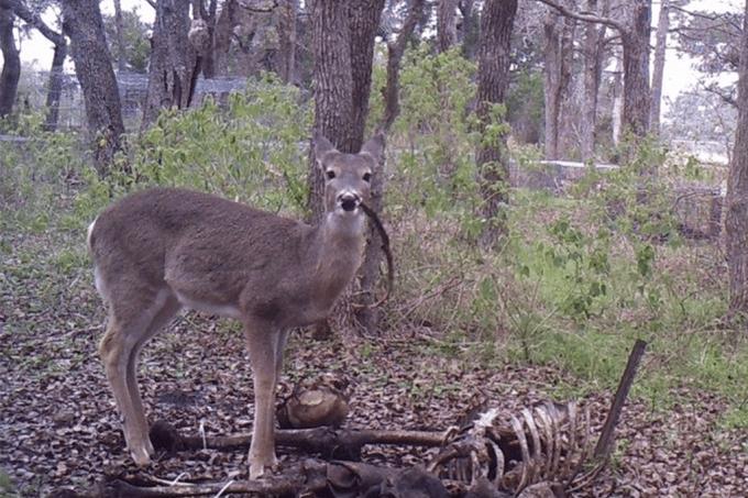 Cervo é visto roendo ossos humanos em campo de treinamento de cientistas forenses nos EUA