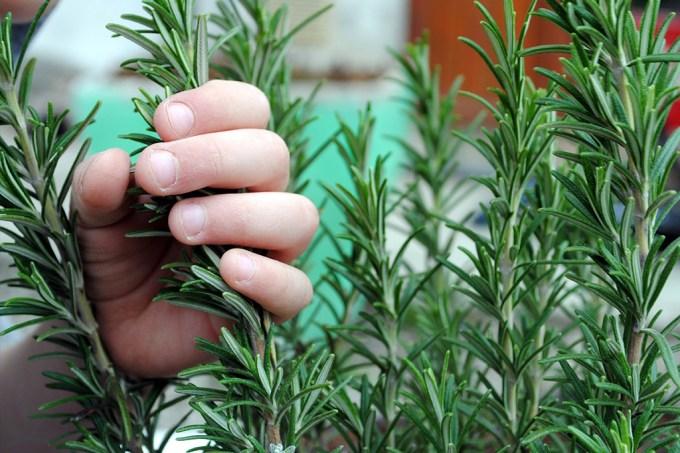 Cheiro de alecrim pode melhorar memória de crianças na sala de aula