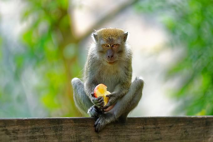 macaco_ladrao