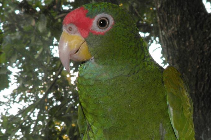 Papagaio descoberto no México tem canto que imita o de gaviões