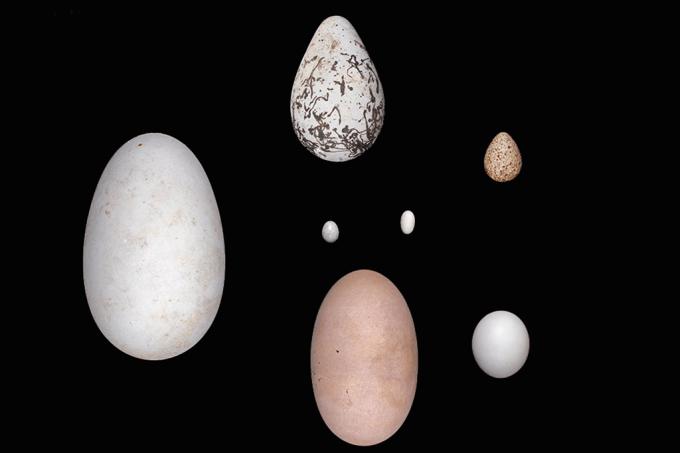 Por que o formato dos ovos de pássaro muda tanto?