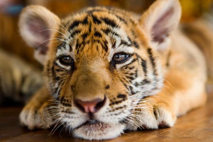 tigres_comida