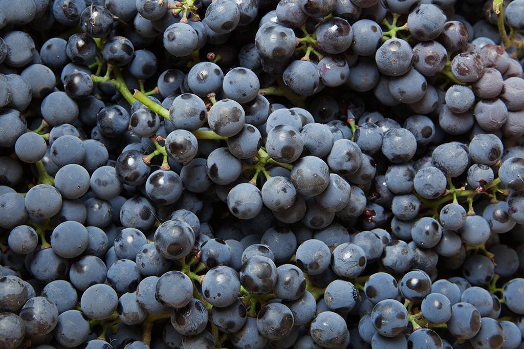 <strong>Doses diárias de resveratrol, encontrado na casca das uvas tintas, deu aos ratos uma imunidade turbinada contra dietas lotadas de açúcar e gordura.</strong>