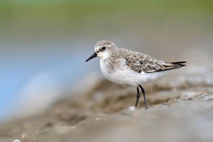 Novo vírus é descoberto em aves do Rio Grande do Sul