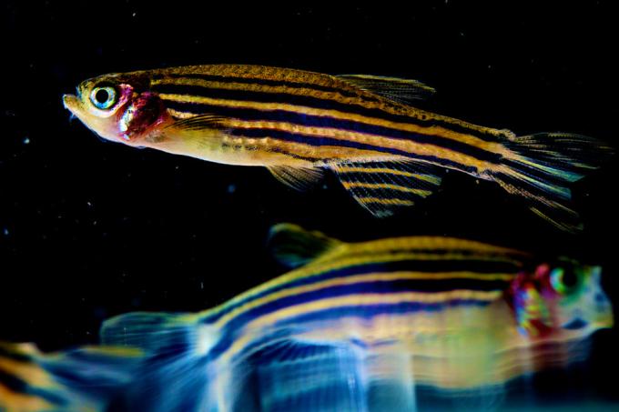Peixinhos de aquário ficam viciados em droga