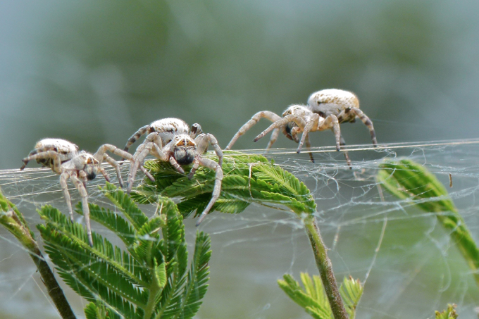 Aranhas solteiras