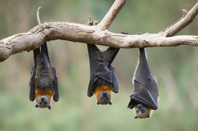 Como os morcegos se sustentam de cabeça para baixo sem cansar